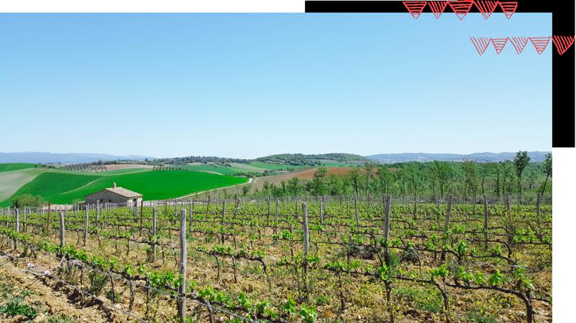 Alcuni filari dei vitigni autoctoni coltivati nella Tenuta Aquilaia in Maremma