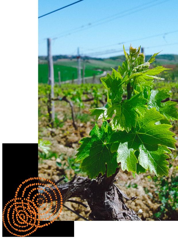 Germogli di vite tra le vigne dell'azienda vinicola Tenuta Aquilaia